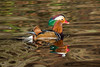 Mandarin (Maria-H) Tags: romiley england unitedkingdom gb mandarin duck etherowcountrypark compstall stockport cheshire uk olympus omdem1markii panasonic 100400