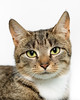 'Munchkin' (Jonathan Casey) Tags: cat rescue catchums tabby white norfolk d810 135mm zeiss apo f2 aposonnart2135 general zf2 carlzeiss
