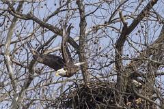 BALD EAGLES NESTING ON LEVEE RD., BROOKVILLE IN. (nsxbirder) Tags: baldeagle haliaeetusleucocephalus brookville indiana franklincounty whitewaterriver