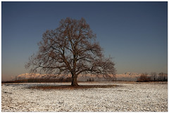 First snow in this year (aviana2) Tags: tree oak bonavilla udine italy snow winter nature fotocompetitionbronze