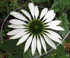 White Echinacea (Swallowtail Garden Seeds) Tags: white whiteflowers whiteflower whiteechinacea echinacea coneflower echinaceapurpurea macro macroflower flower flowers flowermacro swallowtailgardenseeds