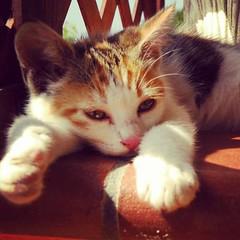 Gatto_eoliano_Lipari (Le isole d'Italia) Tags: festadelgatto gatto eolie lipari cat worldcatday