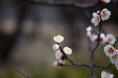 Plum (Ichigo Miyama) Tags: 田鶴鳴梅林のウメ tazunakiplumtrees plum kairakuen 偕楽園 ウメ prunusmume バラ科 rosaceae サクラ属 prunus 春 spring flower plant