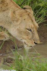 Portrait of a lioness (artabracelta) Tags: leon leona lion africa southafrica sudafrica summer verano viaje travel safari satara skukuza portrait retrato naturaleza nature nikon d5100 teleobjetivo tamron 70300 fotografia photo photography