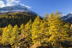 Larici dorati (cesco.pb) Tags: simplonpass simplon switzerland svizzera autumn autunno alps alpi canon canoneos60d tamronsp1750mmf28xrdiiivcld montagna mountains