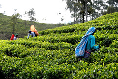 Tea picking (MelindaChan ^..^) Tags: srilanka 斯里蘭卡 lipton tea garden liptonteagarden plant green chanmelmel mel melinda melindachan nature rural countryside plantation agriculture field terrace picker picking teapicking lady woman labor