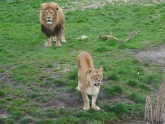 Not happy about being second in the food queue (LadyRaptor) Tags: yorkshirewildlifepark yorkshire wildlife park doncaster ywp nature outdoors animal animals cute predator carnivore feline felines felidae cat cats bigcats lion lions lioness africanlion panthera leo pantheraleo lioncountry pride