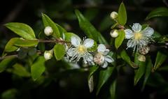 Austromyrtus dulcis (dustaway) Tags: australianflora australianplants lismore northernrivers nsw australia myrtaceae austromyrtusdulcis midyim midgenberry flowers