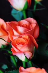 DSC_6539 (PeaTJay) Tags: nikond300s sigma reading lowerearley berkshire macro micro closeups gardens indoors nature flora fauna plants flowers rose roses rosebuds