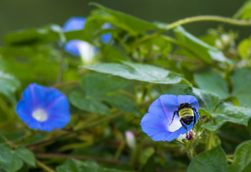 Bee Morning Glory