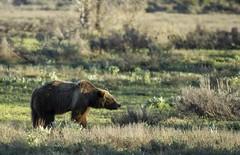 Grizzly 399 (Chris Steelman (Schwabacher)) Tags: bear wildlife wyoming grizzly teton grandteton