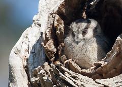 Australian Owlet Nightjar (Aegotheles chrisoptus)-8561 (rawshorty) Tags: birds australia canberra act rawshorty