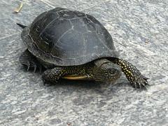 A turtle. June 27, 2015 / Черепаха. 27 июня 2015 г.