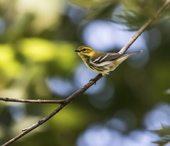Black-Throated Green Warbler Pearched - 2 (Odonata457) Tags: county green mt unitedstates howard maryland dendroicavirens woodstock pleasant warbler conservancy blackthroated