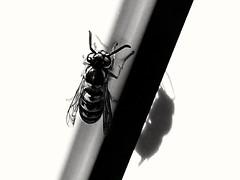 Twins (Fausto Carnicelli) Tags: vespa wasp samsung toscana grosseto maremma carnikke note4 faustocarnicelli samsungnote4