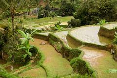 Unbelievably lush. Jatiluwih (Laura Jacobsen) Tags: bali indonesia ricepaddies jatiluwih jatiluwihriceterraces