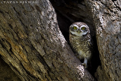 Spotted Owlet (Tapas Biswas.JU) Tags: bird tapas spotted hyderabad sanctuary owlet rollapadu
