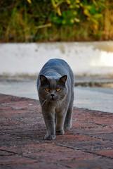 DSC_0513 (juberhas) Tags: summer pet animal cat exterior outdoor gato verano british mascota britanico verano2012