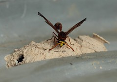 Chiang Mai potter wasp, Tpferwespe, Eumenidae (Phil Arachno) Tags: thailand chiangmai arthropoda tha hymenoptera insecta vespidae eumeninae hexapoda potterwasp