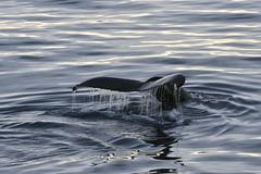 _GRL0689 (TC Yuen) Tags: glacier arctic greenland whales iceberg crusing floatingice polarregion greenlandeast