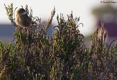 FuinhadosJuncos (Cisticola juncidis) (Fernando Delgado) Tags: bird birds ave novembro riaformosa 2015 cisticolajuncidis fuinhadosjuncos passeriforme streakedfantailwarbler insetívora