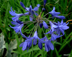 Agapanthus 'Royal Blue'