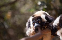 LEMUR-PARK-50 (RAFFI YOUREDJIAN PHOTOGRAPHY) Tags: park city travel trees plants baby white cute green animal fauna canon river jumping sweet turtle wildlife bricks mother adorable adventure explore lemur 5d lemurs bushes madagascar 70200 antananarivo mkiii