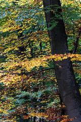IMG_2221-1ri (StK-WI) Tags: park camera trees plant color colour tree fall nature canon germany lens deutschland eos photo colorful europa europe flickr foto laub herbst natur pflanze unesco colourful dslr rhine stephan rhein bäume baum farbig rheinland rhineland bunt pfalz kamera palatine rheinlandpfalz objektiv rheinsteig rhinelandpalatinate kolle apsc stephankolle forest woods 70300mm wald 2015 60d osterspai buchenwald buche buchen beech beeches foliage world heritage weltkulturerbe erbe worldheritage welterbe autumn holiday holidays urlaub stkwi landscape landschaft