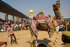 Camel dance competition at Pushkar Mela 2015 (marcusfornell) Tags: india animal animals dance asia asien circus traditional competition colourful tradition pushkar camels indien rajasthan decorated southasia camelfair pushkarmela südasien