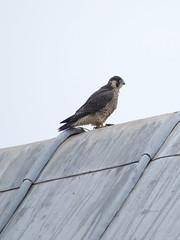 plotting the next gull attack