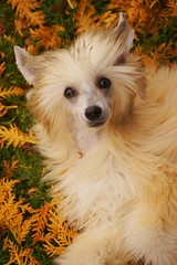Mini ♥ Autumn (cassaraw) Tags: autumn winter dog pet snow cute dogs animal finland puppy snowy sony chinese puff powder pup chinesecrested crested autumnal dogphotography doge wintry powderpuff chinesecresteddog kiinanharjakoira cresteddog instagram