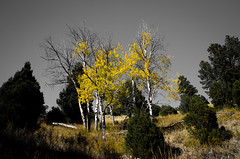Fall is disappearing all around us. (Joshuaww) Tags: park autumn houses sky white black hot fall water leaves yellow stone buildings photography buffalo montana pretty skies joshua terrace empty nation parks faded national mammoth springs aspens yellowstone wyoming void dying monuments blacknwhite bacteria minerva autumnal mats hotsprings muted vast bacterial yellowstonenp populus quakies tremuloides joshuaww