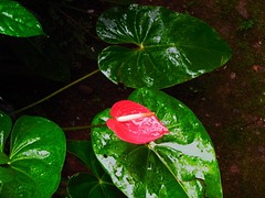 Nature's best (chiragp2993) Tags: flowers red india nature leaves flora nikon flickr greenery rains naturephotography flickrsbest flowerwatcher