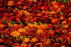 Tapete floral (josejuanzavala) Tags: red rojo tapete alfombradeflores ltytr1 josejuanzavala