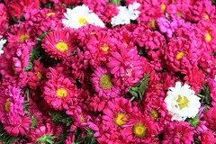 Pink and white Chrysanthemum (bluelotus92) Tags: flowers india flower market vibrant karnataka mysore chrysanthemum pinkchrysanthemum mysuru whitechrysanthemum devarajursmarket devarajaursmarket