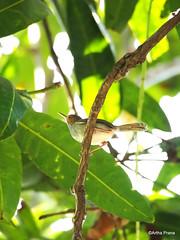 PC130966 (gprana) Tags: bali bird indonesia olympus m43 singaraja ashytailorbird orthotomusruficeps micro43 microfourthirds olympusomdem5 olympusmzuikodigitaled75300mmf4867ii