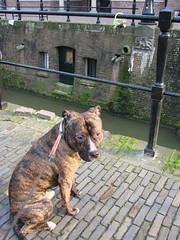 Charlie by the Drift (indigo_jones) Tags: dog pets holland dogs netherlands cane canal utrecht nederland hond charlie brindle staffie drift