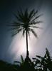 Moon Rise Palm (aloha_bigmike) Tags: alohabigmike 120mm slidefilm mikecaputo mediumformat fujiga645zi hilo hawaii honolii
