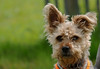 Half listening (yvonnepay615) Tags: panasonic lumix gh4 dog yorkie houghton norfolk eastanglia u k platinumheartaward