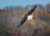 "Eagle ""EXPLORED"" 01.13.17 #214 (Mike Bader) Tags: eagles conowingodam conowingoeagles marylandwildlife marylandeagles marylandbirds birds birdsofprey birdphotography avian avianphotography americanbaldeagle baldeagle raptor"