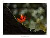 Para Jota..... (.... belargcastel ....) Tags: bokeh hoja otoño luz light autumn rojo red bosque cumplejota belargcastel españa spain galicia helios