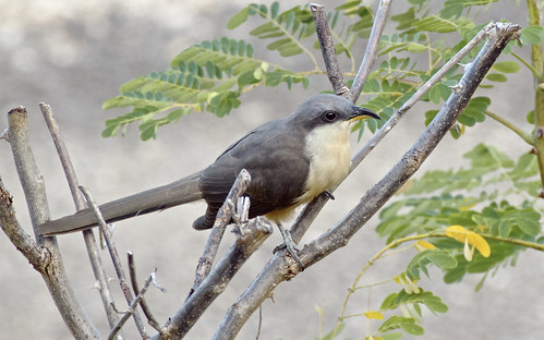 Mangrove Cuckoo 1485