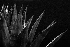 Blue Agave II (PJ Resnick) Tags: cathedralcity perryjresnick pjresnickgmailcom ©2017pjresnick ©pjresnick pjresnick nature light fuji fujifilm noir atmosphere atmospheric digital shadow texture shadows angle perspective naturallight xf fujinon resnick soft design plant depthoffield black fujixpro2 xpro2 pattern rectangle rectangular outdoor 56mm fujinon56mmf12 56mmf12 california desert subtle agave blueagave abstract 4x6 depth blackandwhite monochrome monochromatic blackbackground minimal minimalism minimalist bw blackwhite pjresnickphotographygmailcom