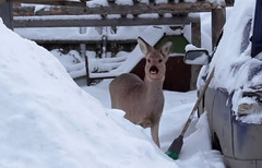 Pet Deer (bodellia) Tags: babydeer familypet russia snow video