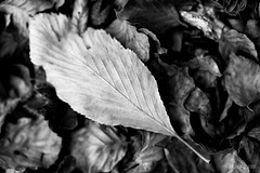 Distinct (futhark) Tags: macro leaf hoja leaves discordant discordante different singular special texture textures textura texturas black white schwarz weiss blanc noir dof bokeh 100mm 100l 5dmkii 2017 elgaratgecom orioldomingo ramification ramifications nature natura natural composition diferente