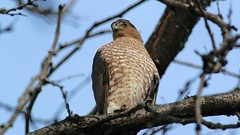 cooper's hawk (adult male) (quadceratops) Tags: massachusetts nature east cambridge raptor coopers hawk accipiter eastcambridgeraptors