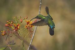 Green-Throated Carib 2 (ronmcmanus1) Tags: antigua bird nature outdoors wildlife jollyharbour stmarysparish antiguabarbuda