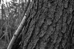 Broken branch resting on tree (Stanley Burn Woods) (Jonathan Carr) Tags: tree abstract abstraction landscape rural northeast black white bw 6x9 toyo45a monochrome branch cut