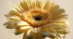 Light and Shadow (abrideu) Tags: abrideu depthoffield flower macro gerbera cream plant indoor canon ngc