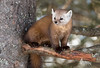 Pine Marten peering out (NicoleW0000) Tags: pine marten carnivore wild animal wildlife photography outdoor